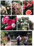 バラ苑2014春
